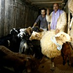 Sheep in Gaza Tunnel