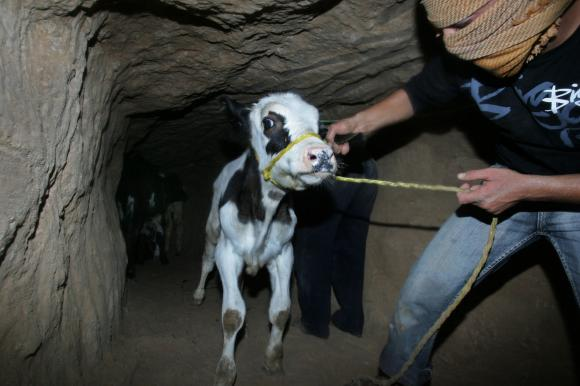 Cows in Gaza Tunnel