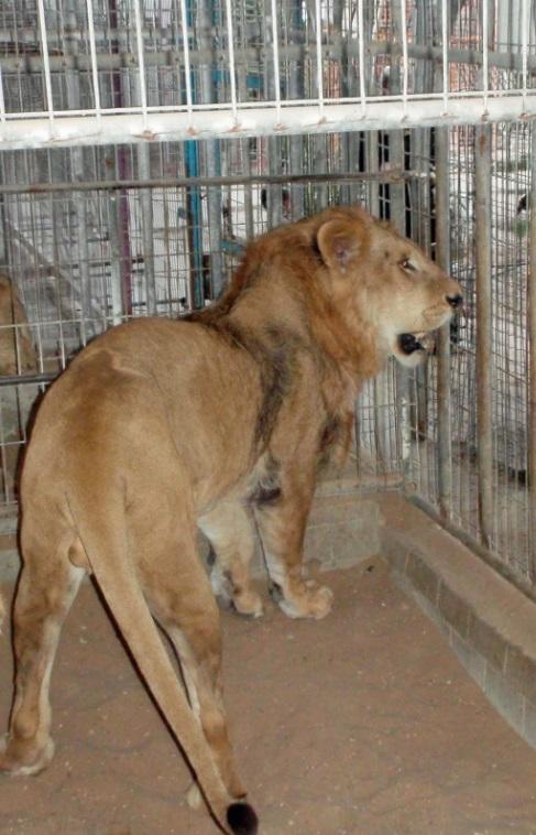 Lion in a Gaza Tunnel