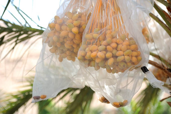 Dates in a net